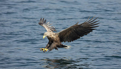 Photograph - White-tailed Eagle Fishing by Peter Walkden