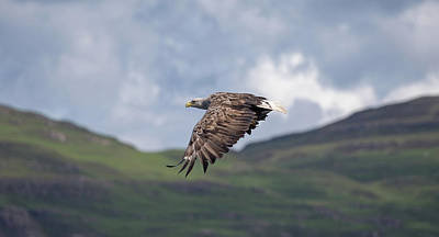 Photograph - White-tailed Eagle Over Glen by Peter Walkden