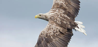 Photograph - White-tailed Eagle Side On by Peter Walkden