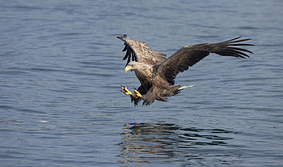 Photograph - White-tailed Eagle Taking A Fish by Peter Walkden