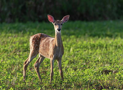 Photograph - White-tailed Fawn 2018-1 by Thomas Young
