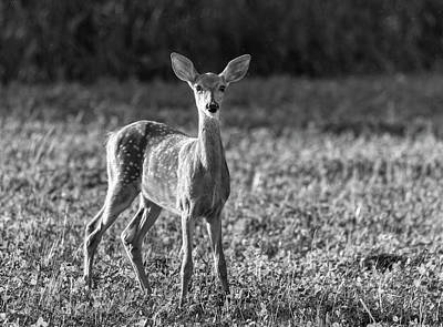 Photograph - White-tailed Fawn 2018-2 by Thomas Young