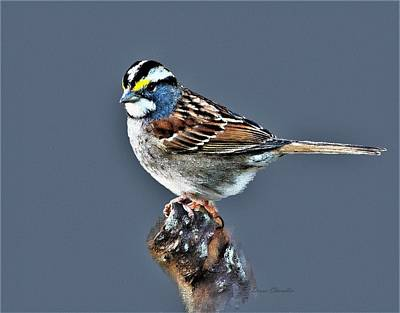 Digital Art - White-throated Sparrow by Diane Chandler