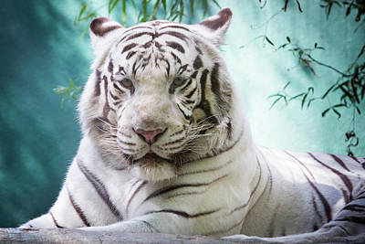 Photograph - White Tiger Headshot by SR Green