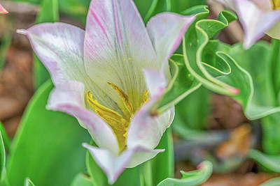 Photograph - White Tulip by Miriam Bade