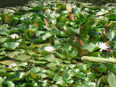 Flower Wall Art - Photograph - White Water Lilies by Joan Stratton