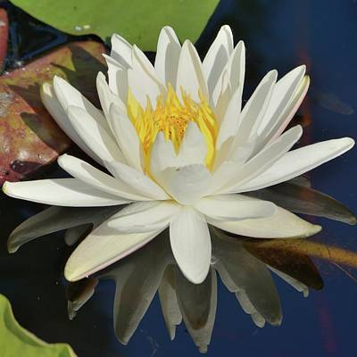 Photograph - White Water Lily-square by Bradford Martin