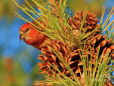 Photograph - White-winged Crossbill by Debbie Stahre