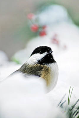 Photograph - White Winter Chickadee by Christina Rollo