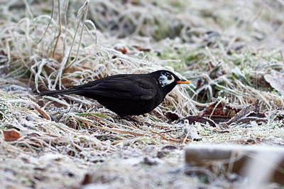 Vintage Performace Cars - Whitecheek. Common blackbird by Jouko Lehto