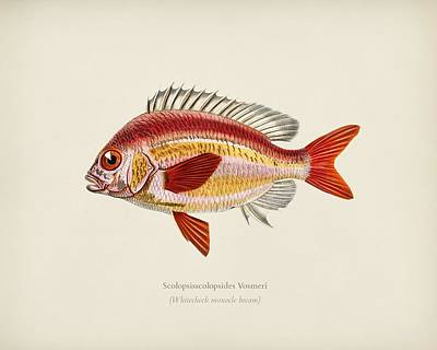 Painting - Whitecheek Monocle Bream  Scolopsisscolopsides Vosmeri  Illustrated By Charles Dessalines D  Orbigny by Celestial Images