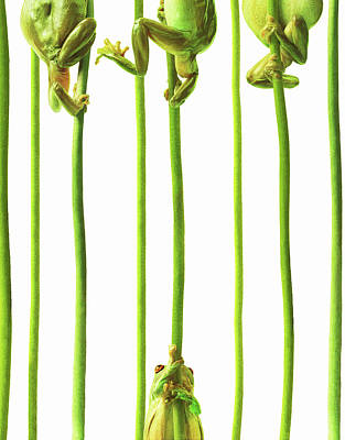 On The Move Photograph - Whites Tree Frogs Climbing Plant Stems by Gandee Vasan