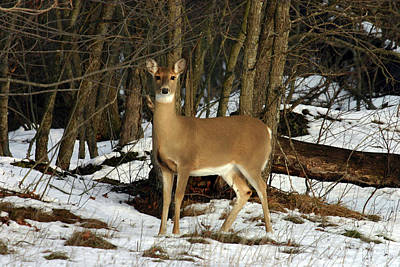 Photograph - Whitetail Deer 120501 by Rick Veldman