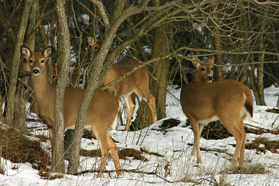 Photograph - Whitetail Deer 120503 by Rick Veldman
