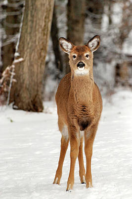 Whitetail Deer Wall Art - Photograph - Whitetail In Snow by Christina Rollo