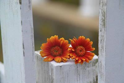 Landscape Photos Chad Dutson - Whitewash And Orange Dwarf Gerberas by Cathy Lindsey