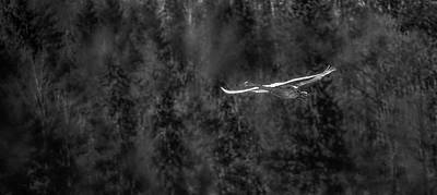 Photograph - Whooper Swan Bw #i5 by Leif Sohlman