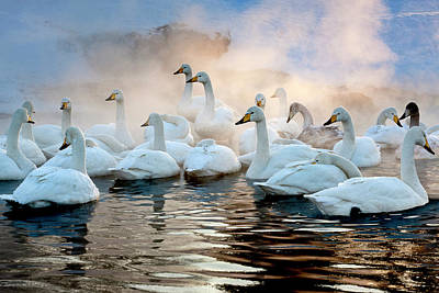 Photograph - Whooper Swans On The Surface Of A Lake by Mint Images - Art Wolfe