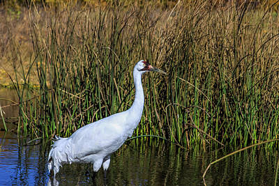 Photograph - Whooping Crane In Pond by Dawn Richards