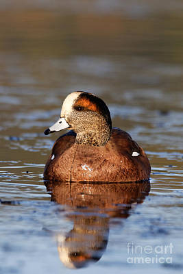 Photograph - Wigeon by Sue Harper