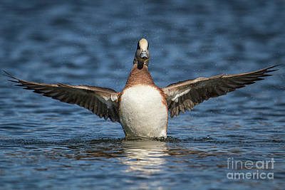 Photograph - Wigeon Wingspan by David Cutts