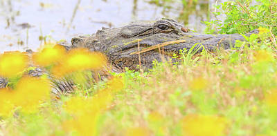 Photograph - Wild Alligator In Spring by Dan Sproul