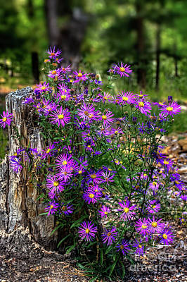 Photograph - Wild Asters by Susan Warren