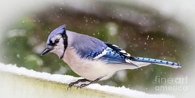 Photograph - Wild Birds Of Winter - Blue Jay In The Snow by Kerri Farley