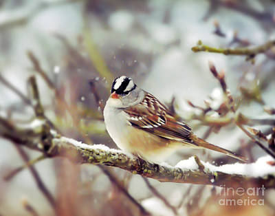 Photograph - Wild Birds Of Winter - White-crowned Sparrow by Kerri Farley