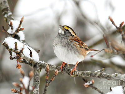 Photograph - Wild Birds Of Winter - White-throated Sparrow by Kerri Farley