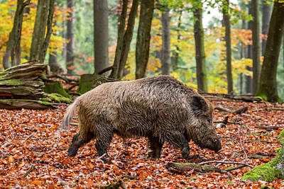 Photograph - Wild Boar by Arterra Picture Library