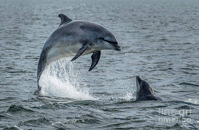 Olympic Sports - Wild Bottlenose Dolphins At Inverness Moray Firth In Scotland by Andreas Berthold