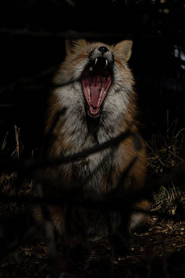 Wild Fox Yawns Original