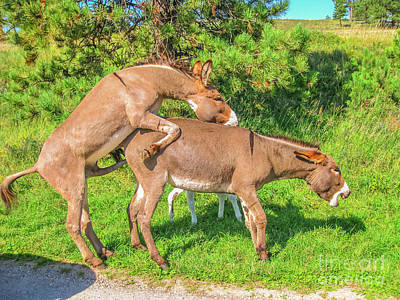 Photograph - Wild Donkeys Mating by Benny Marty
