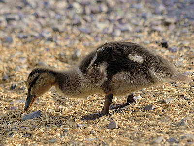 Photograph - Wild Duckling by Kae Cheatham