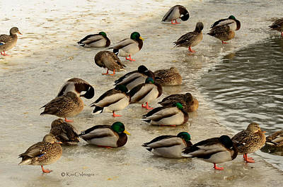 Photograph - Wild Ducks Resting On Ice by Kae Cheatham