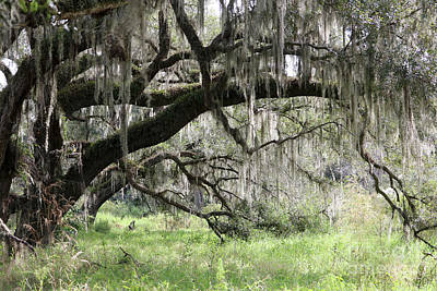 Photograph - Wild Florida Landscape With Old Oak by Carol Groenen