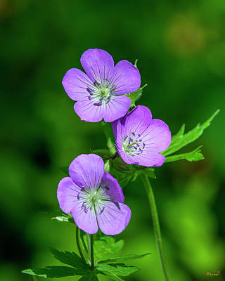 Photograph - Wild Geranium Or Spotted Cranesbill Dfl0891 by Gerry Gantt
