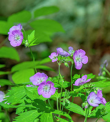 Photograph - Wild Geranium Or Spotted Cranesbill Dfl0893 by Gerry Gantt