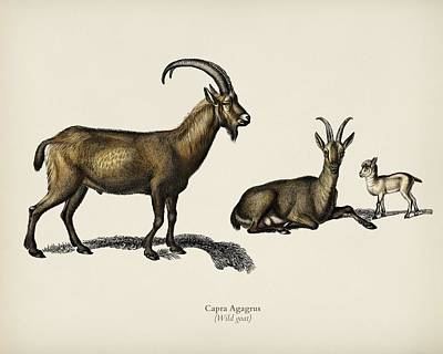 Painting - Wild Goat  Capra Agagrus  Illustrated By Charles Dessalines D Orbigny  1806 1876  by Celestial Images