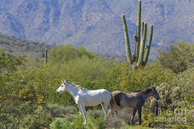 Photograph - Wild Horses Tonto National Forest by Edward Fielding