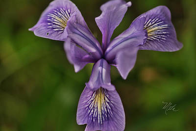 Photograph - Wild Iris by Meta Gatschenberger