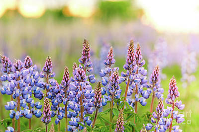 Photograph - Wild Lupine Sunset by Sheila Skogen