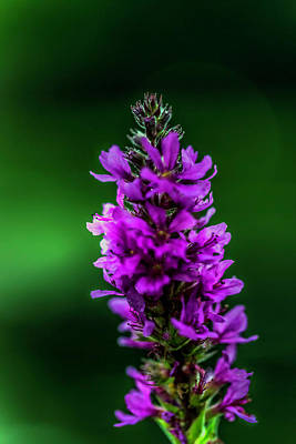 Photograph - Wild Purple by Max Huber
