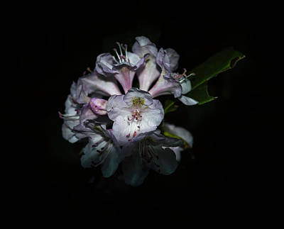 Photograph - Wild Rhododendron by Judy Hall-Folde