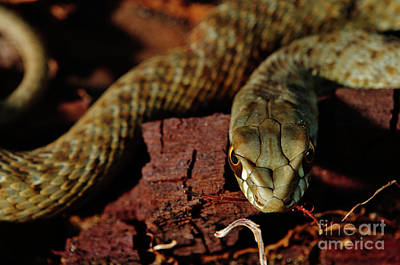 Wild Snake Malpolon Monspessulanus In A Tree Trunk Art Print