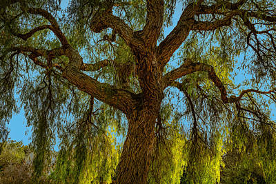 Photograph - Wild Willow by Alison Frank