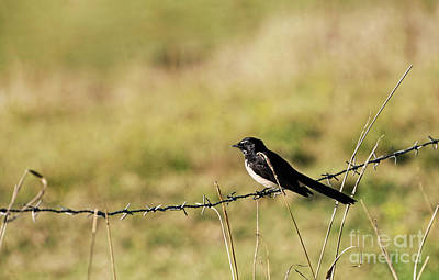 Photograph - Willie Wagtail Bird By Kaye Menner by Kaye Menner