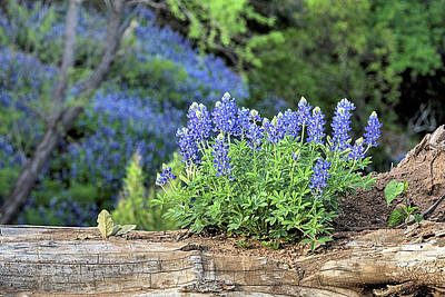 Photograph - Willow City Loop Bluebonnets by JC Findley