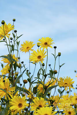 Photograph - Willow Leaved Sunflower by Tim Gainey